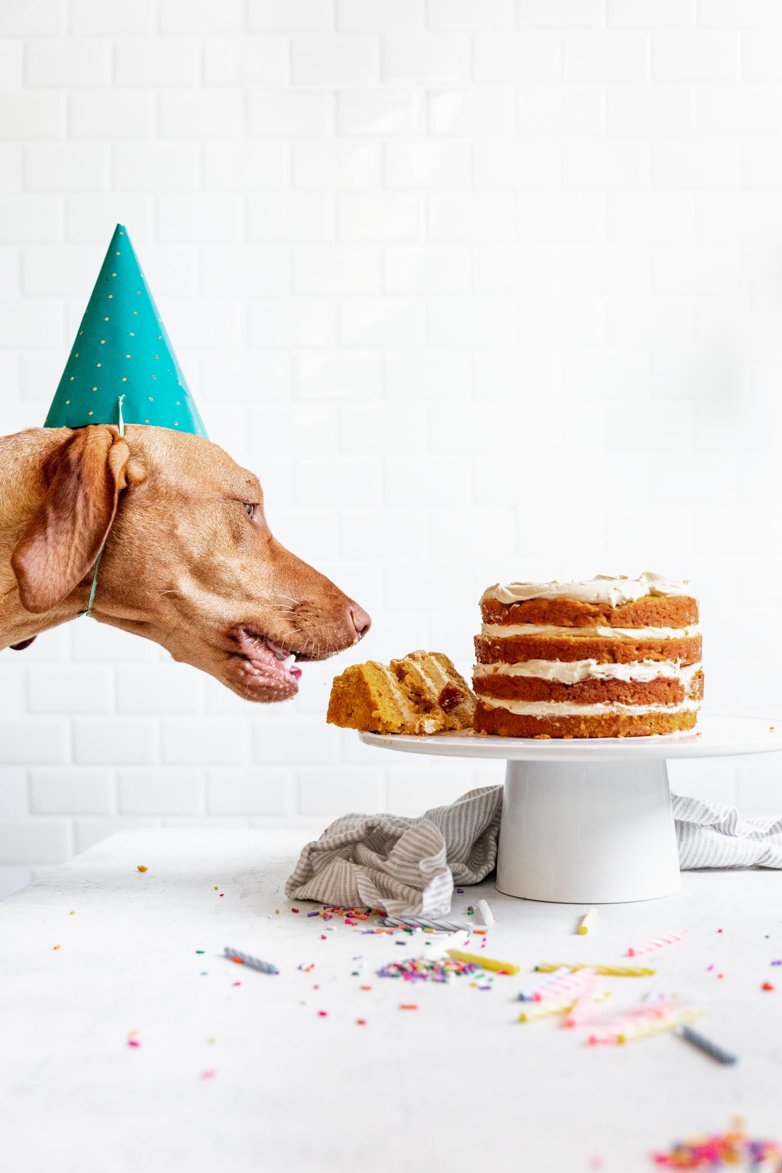 Taking a bite of dog birthday cake